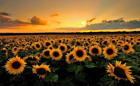 Sunflower-reorientation